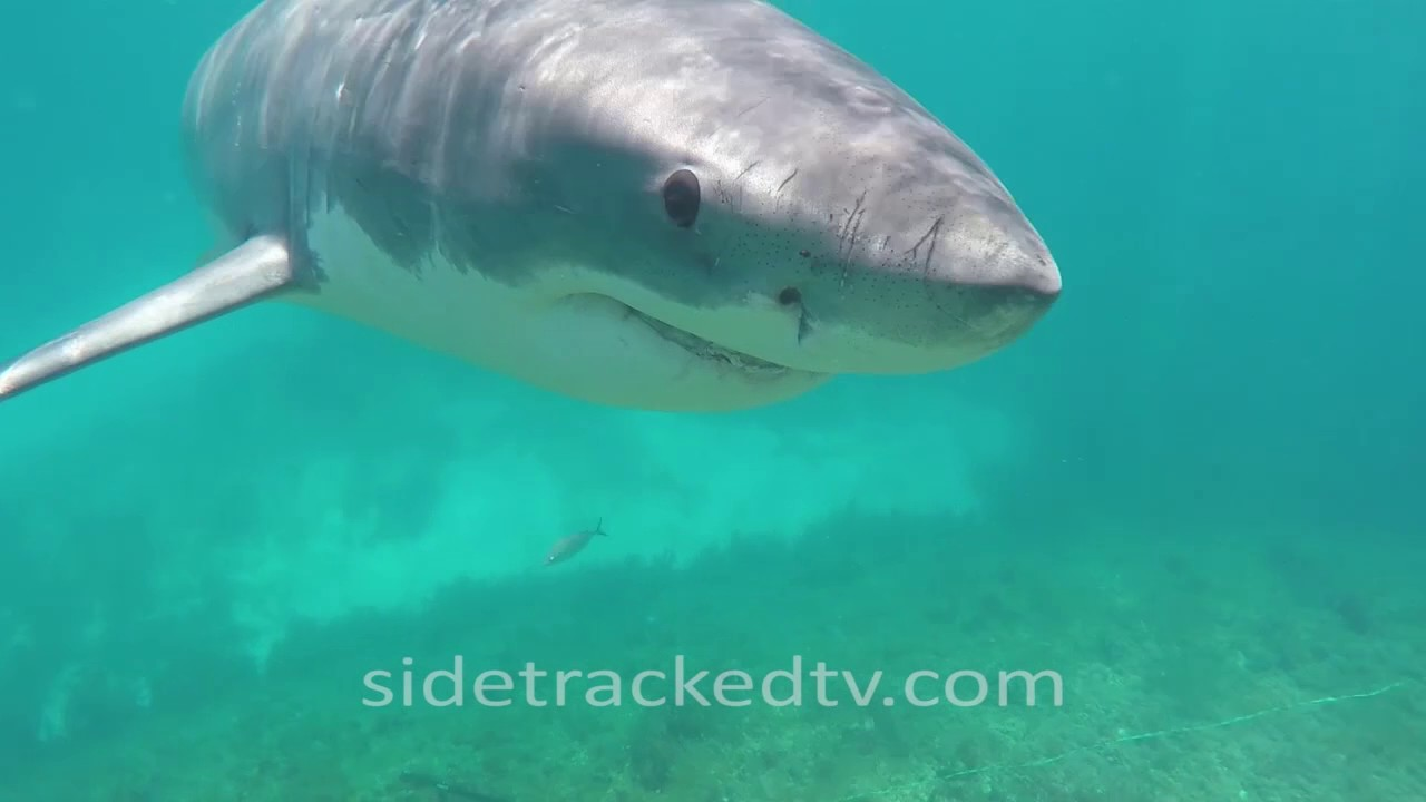 Cage-Free Snorkeling With A Beautiful Great White Shark