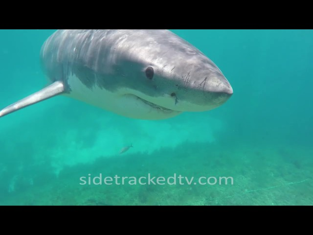Filming a Great White Shark For First Time, No Cage, Armed With a Snorkel and GoPro