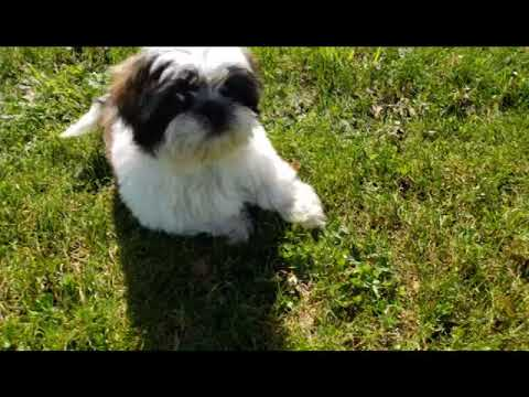Marshall the Incredible Shih Tzu puppy
