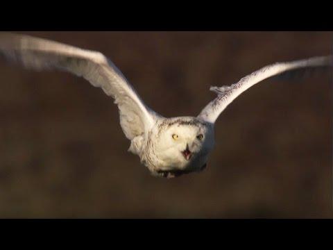 Vill kamp: Ugle angriper ulven