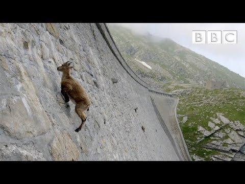 Козлы зависают на дамбе «Diga del Cingino» в Италии | козлы на плотине