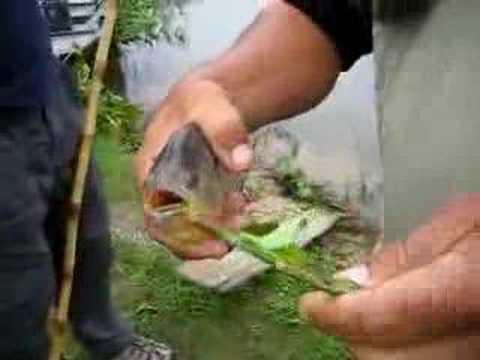 شراسه سمك البيرانا وقوه فكها