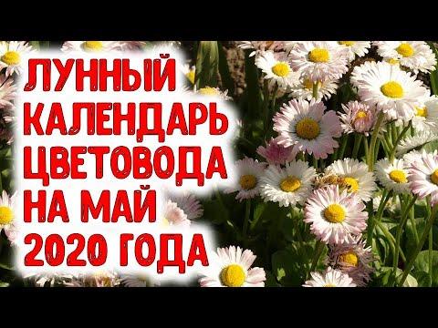 Лунный календарь цветовода на май 2020 года. Агропрогноз для посадки рассады цветов, хризантем, роз
