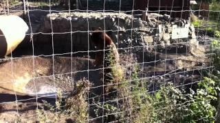 Bear in Tbilisi Zoo