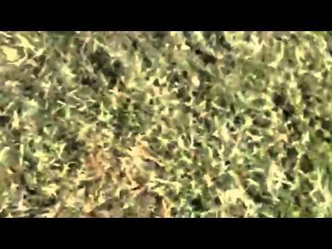 Windsong-pomapoo female
