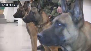 تحميل و مشاهدة جلب 3 كلاب بوليسية مستنسخة من سلالة بلجيكية إلى روسيا MP3
