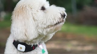 Teddy Bear Song (but it's a Goldendoodle)