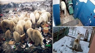 More than 50 Polar Bears Invade the Town and Chase Residents in Russia