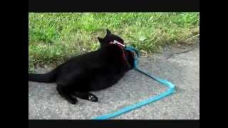 Velvet, The Black Cat, Enjoying Green Grass Vapors