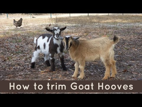 , title : 'Hoof-Trimming on Goats: It's pretty Simple!