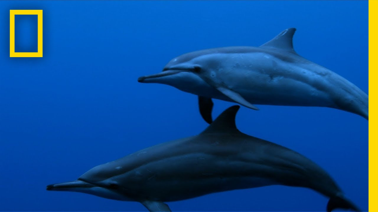 Spinner Dolphins | Untamed Americas thumbnail