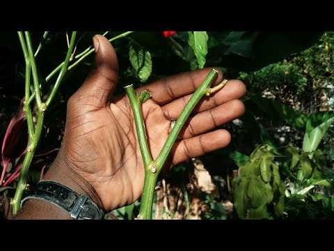 Gardening Request || How And When To Prune Your Pepper || Agrosuede ✔