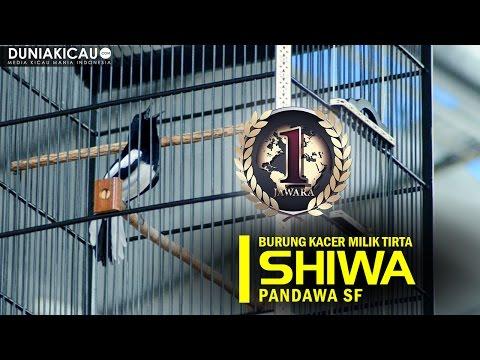 JAWARA - SHIWA Burung Kacer Penjajah Lomba!