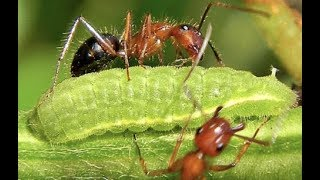 Fire Ants Vs A Larvae