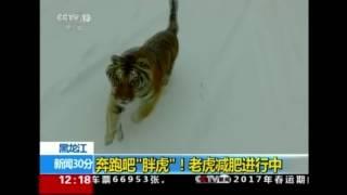 Tiger attacks drone