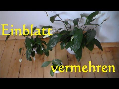 Einblatt vermehren - Einblatt Spathiphyllum Ableger - Einblatt umtopfen Steckling