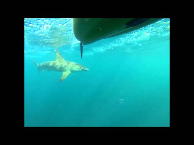 Kayak Fishing: Hammerhead Shark Stalks Kayakers - Pushin' Water Kayak Charters