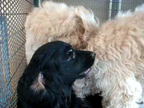 สุนัขเป็นสัด 19-01-2553 - YouTube