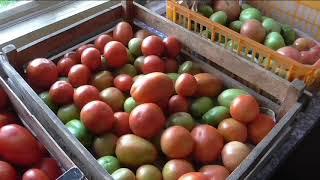 Чем хороши безрассадные помидоры, итоги сезона.