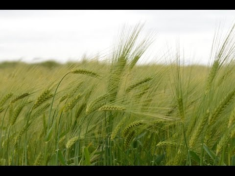 Unlocking Barley's Potential: The International Barley Hub project