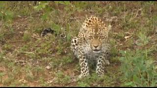 Safari Live Videos--Karula Freaks At Jamie Paterson (date unknown)