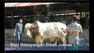 Download Video Sapi Kurban 1,1 Ton Milik Presiden Jokowi MP3 3GP MP4