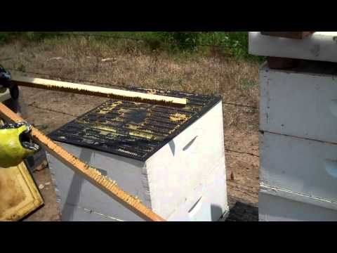 How Propolis is harvested. Bee Propolis or Honeybee Propolis by beekeeper Tim Durham Sr. WallsBeeMan
