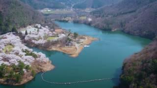 絶景!1,000本以上の満開桜をドローンで空撮!京都府南丹市大野ダム