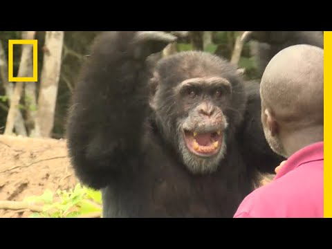 See How a Lone Chimp Finds Solace With His Human Caretaker | National Geographic