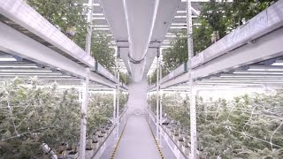 Vertical LED Grow Light Cannabis Farm At MedMen