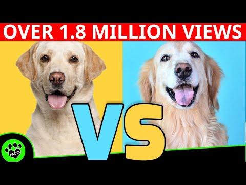 Golden Retriever vs Labrador Retriever - Dog vs Dog  Which is Better?