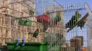 preview picture of video 'سوق الطيور في كركوك  Birds market in kirkuk - Iraq'