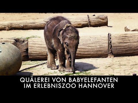 Quälerei von Babyelefanten im Erlebniszoo Hannover / PETA