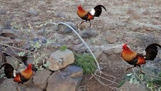 Wow!Amazing Quick Traps.This Trap Cacth Wild Chickens And Birds In Cambodia.How To Make Birds Traps.