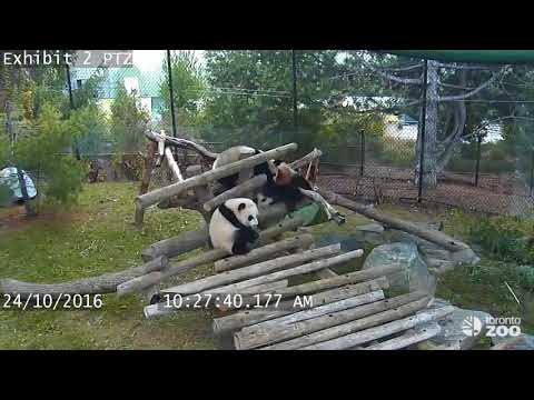 Hilarious Compilation of Panda's Taking a Tumble