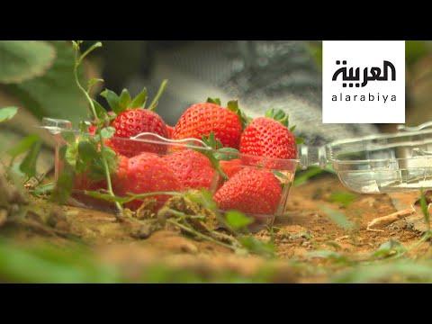 العرب اليوم - شاهد: مزارع الفراولة تُزيّن مرتفعات السودة