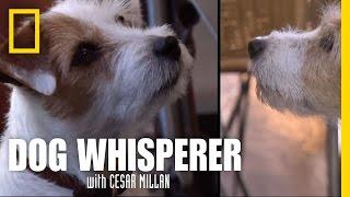 Terrier Vs. Terrier   Dog Whisperer