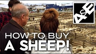 How to Buy a Sheep!