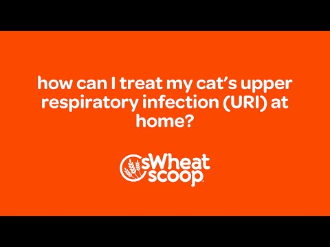 Video how can I treat my cat's Upper Respiratory Infection (URI) at home?