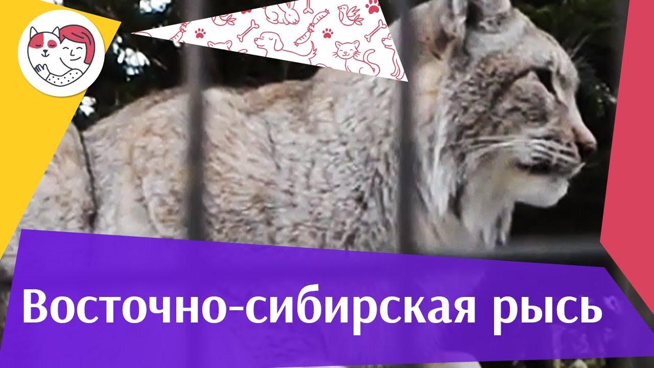 Восточно сибирская рысь Внешность на ilikepet