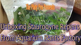 Staurogyne Repens Unboxing From Aquarium Plants Factory
