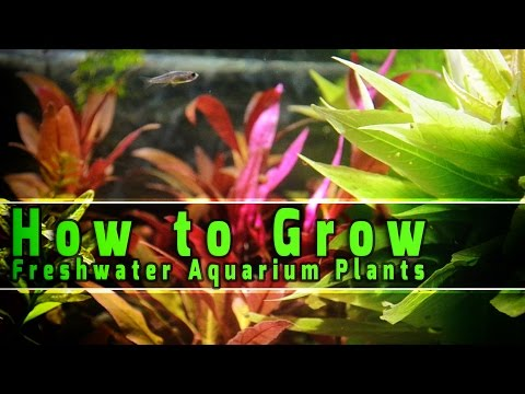 How to Grow Freshwater Aquarium Plants