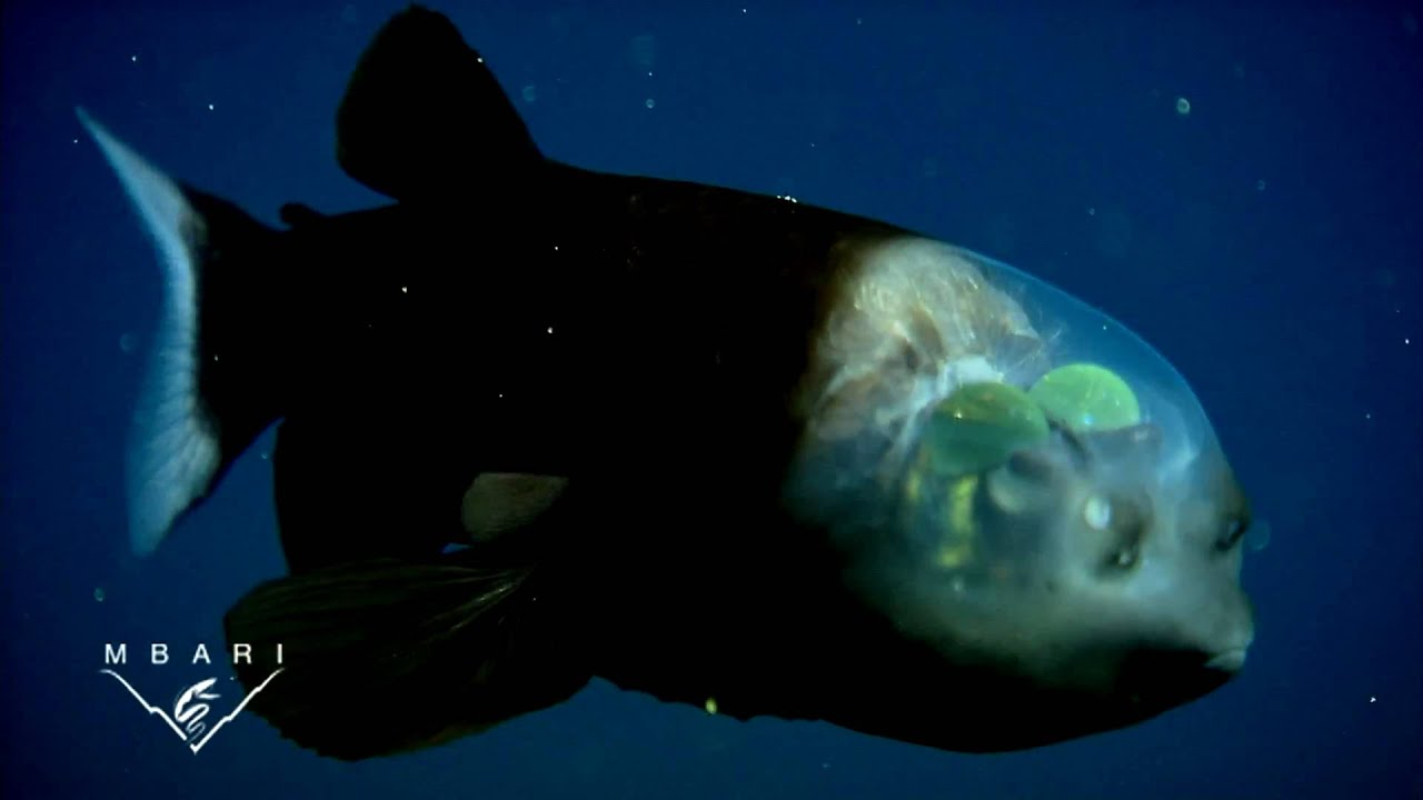 Macropinna microstoma: A deep-sea fish with a transparent head and tubular eyes