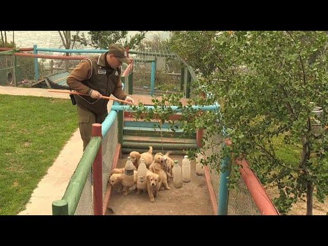 تدريبات كلاب الشرطة البوليسية في تشيلي