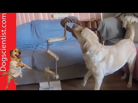 Smart Labrador Solves a Puzzle to Play with Her Toy