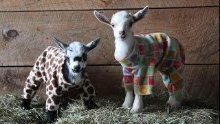 A little Friday fun Kid goats having a PJ party