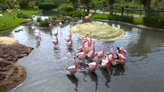 Andean flamingos marching