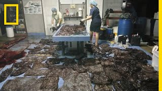 17 Pounds of Plastic Waste Kills Pilot Whale   National Geographic thumbnail