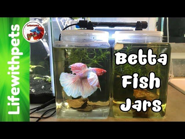 Setting up One Gallon Betta Fish Jars.