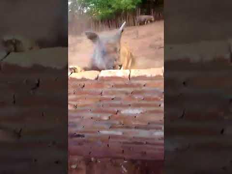 Alisson da Doceira e atacado por Porco Gigante no Sítio do Danilo Daneluz na Palmeirinha